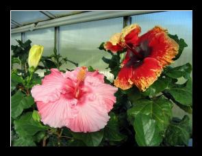 Engrais hibiscus