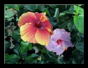 Les soins_generaux pour les hibiscus