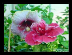 l 39 arrosage des hibiscus en pot