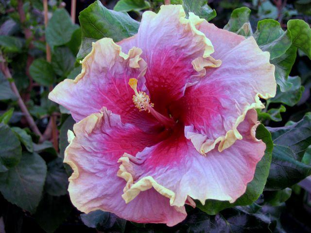 hibiscus : hazel cummings - tahitian magenta