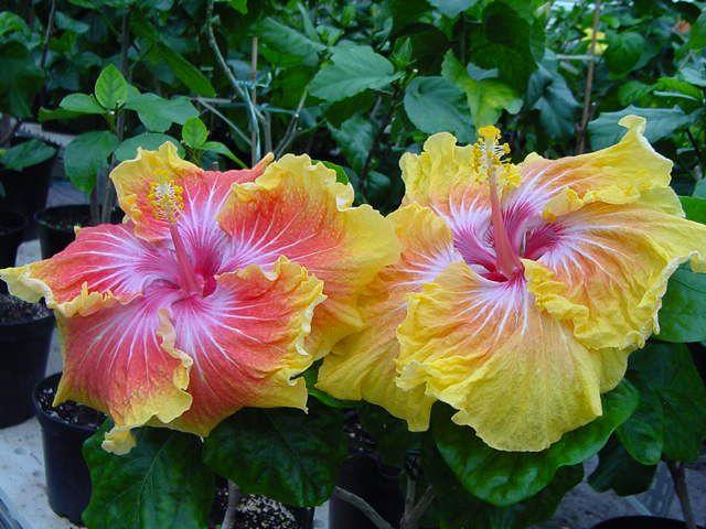 hibiscus à très grande fleur : fantango
